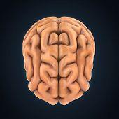 picture of temporal lobe  - Human Brain Anatomy Illustration  - JPG