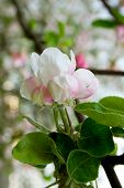 pic of tree-flower  - Flowering of apple trees. Closeup white flowers of the apple tree. ** Note: Visible grain at 100%, best at smaller sizes - JPG