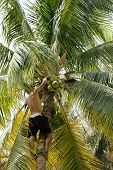 picture of climber plant  - professional climber on coconut treegathering coconuts with rope close up - JPG