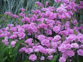 stock photo of dnepropetrovsk  - carnation grows on a flowerbed in Dnepropetrovsk - JPG