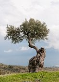 stock photo of olive trees  - Lonely olive tree standing on the peak of a hill against a cloudy sky in Cyprus - JPG