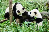 pic of panda bear  - two Panda bears cubs playing Bifengxia base reserve Sichuan China - JPG