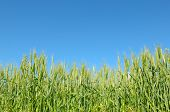 stock photo of fall-wheat  - wheat field and blue sky - JPG