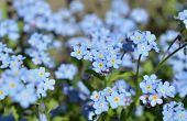 Постер, плакат: Blue forget me not flower