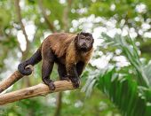 pic of rainforest  - Brown capuchin monkey standing on a tree in rainforest - JPG