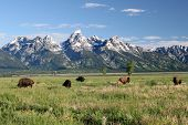 Buffalo In The Tetons