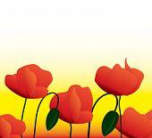 flowers of a poppy
