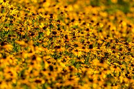 stock photo of black-eyed susans  - Images taken of an early summer field of the wild Black-Eyed-Susan flowers found in Downingtown, Chester County PA.