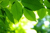picture of green leaves  - Green leaves - JPG