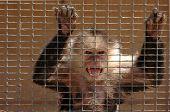 Macaco zangado