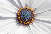 Beautiful Marguerite macro