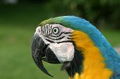 picture of canaima  - Macaw blue and yellow close - JPG