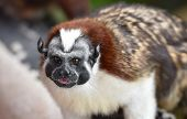 Geoffroys Tamarin (saguinus Geoffroyi).  A Type Of Small Monkey, Found In Panama & Colombia. Predomi poster