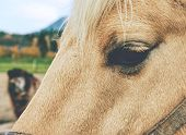 White Horse Portrait. Eye Detail Of White Horse Head With Halter  In Horse Farm. poster