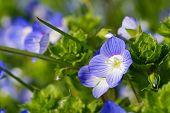 Flowers Of Veronica Persica (birdeye Speedwell, Common Field-speedwell, Persian Speedwell, Large Fie poster