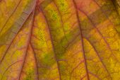 Extreme Closeup Of Green Leaf With Red Veins In Process Of Changing Colors Back-lit With Natural Lig poster