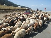 Car Surrounded By Sheeps