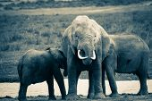 Kenya, Park, Maasai Mara, Elephant With Two Elephants. poster