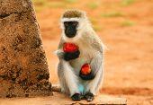 Portrait of wild hungry monkey . Africa. Kenya. Masai Mara