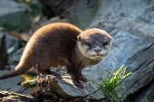 Young Asian Small-clawed Otter (amblonyx Cinerea) Also Known As The Oriental Small-clawed Otter. Thi poster