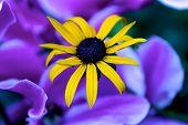 Yellow Caribbean Flower Before Purple Petals