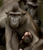 Sulawesi Crested Macaque Family