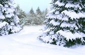 Beautiful Winter Forest. Spruces Covered By White Snow In Wood. Spruces Branches Covered With Snow.  poster