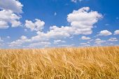 golden wheat field and blue sky landscape