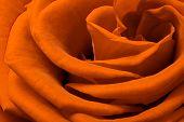 bela laranja rosa close-up