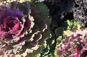 Ornamental Kale. Natural Vivid Background. Ornamental Cabbages. Winter Flowers. Coloured Leaves Of O poster