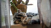 Close Up Of Cute Kitten Slipping Near Window. Beautiful Lazy Gray Striped Purebred Cat In A Sunny Da poster