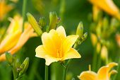 Beautiful hemerocallis, yellow flower