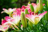 Beautiful hemerocallis, pink flowers