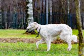 Russian Borzoi. Young Energetic Dog Walks In The Meadow. poster