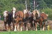 picture of horse plowing  - a five horse hitch of belgian draft horses plowing a field - JPG