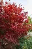 Beautiful Autumn Red Bush In The Park. A Bush Of Bright Red Viburnum. Autumn Landscape. poster