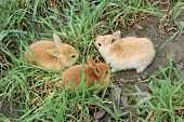 Three Small Red Rabbits Have Journey On Green Grass
