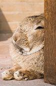 Resting Rabbit