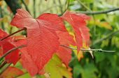 Red Leaf Viburnum.