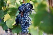 Several Bunches Of Ripe Dark Grapes