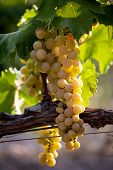 Large Bunch Of Juicy Ripe Grapes