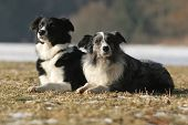 2 Border Collies