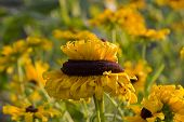 stock photo of oddities  - A crown of petals is growing in the center of a sunflower - JPG