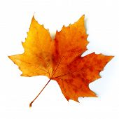 image of fall leaves  - Beautiful golden Fall leaf isolated in white - JPG