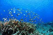 picture of damselfish  - Damselfish and corals in the tropical reef - JPG