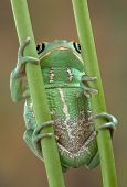 Frog On Stems