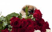 Pekingese with roses