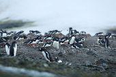 large group of gentoo penguins