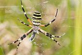 Orb-weaving Spider (argiope Bruennichi)