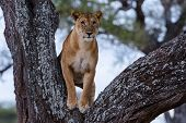 Watchful - a lion standing in the crook of a tree.